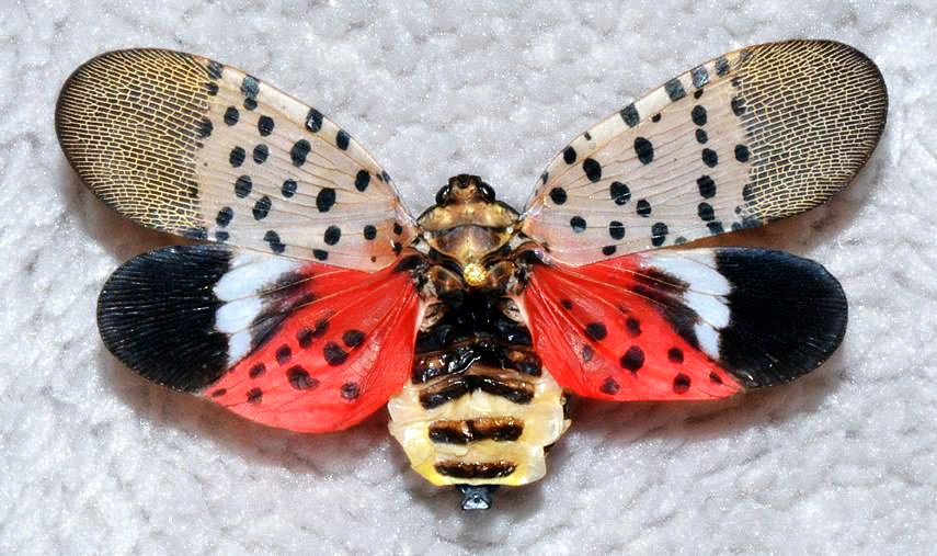 Spotted-Lanternfly-wings-spread-11-16-2014-GregHoover