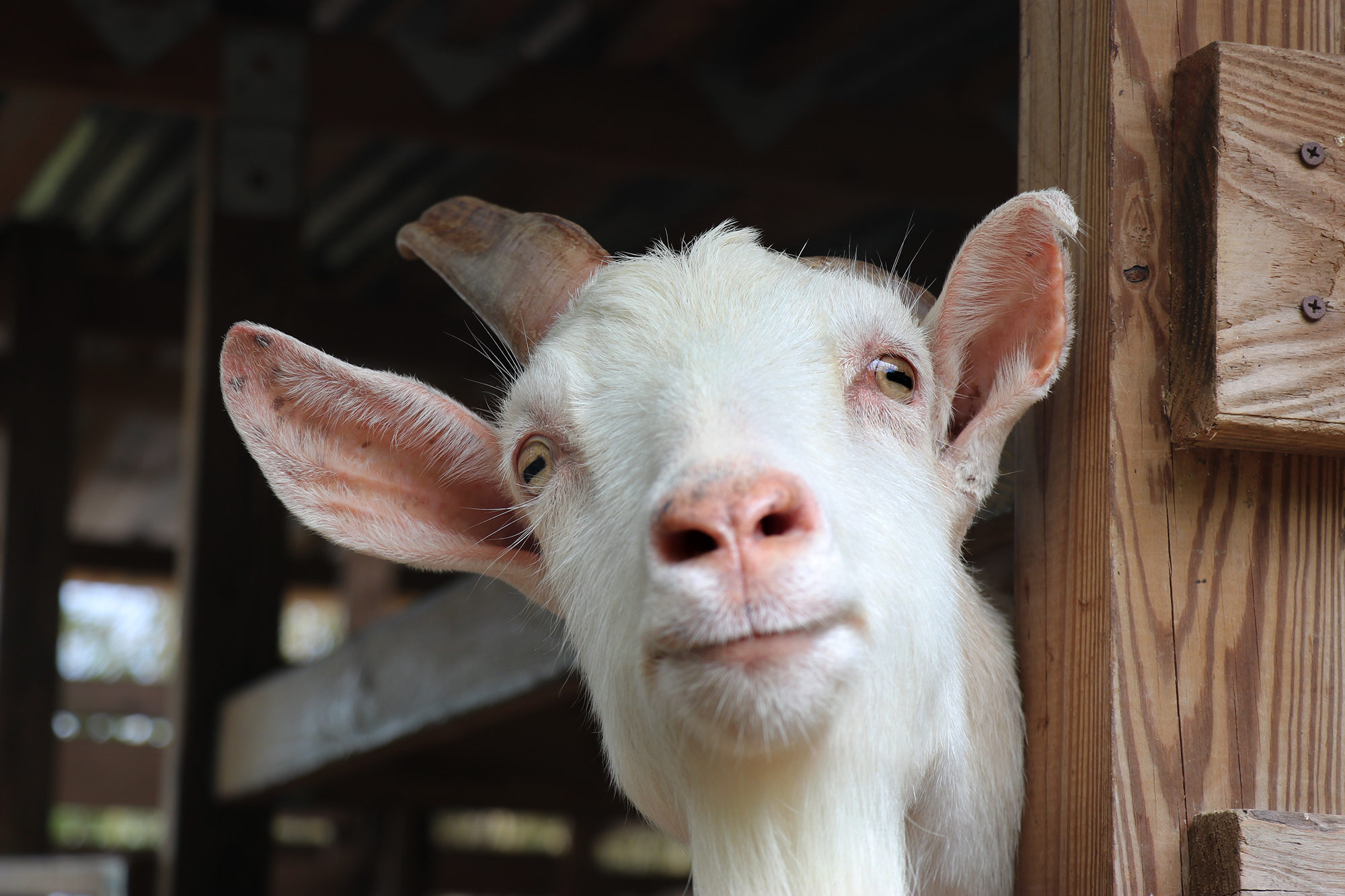 Goats are raised for dairy and fertilizer at Mayani Farms. Photo by Tina Locurto